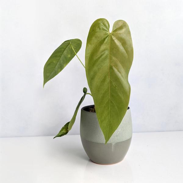 Anthurium Bullatus