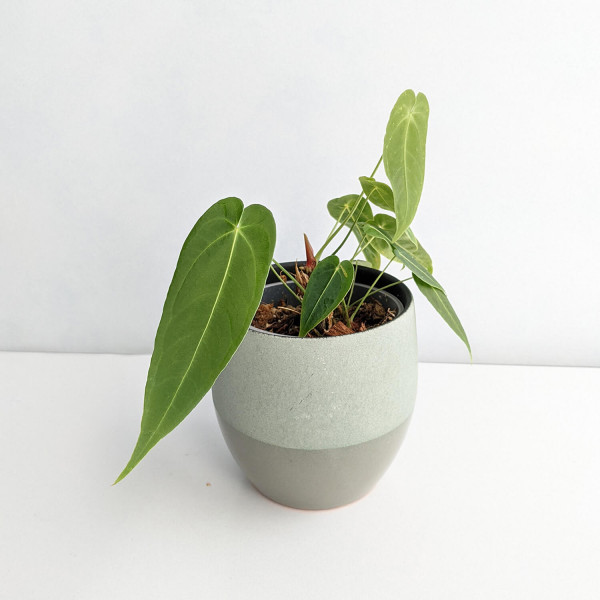 Anthurium Waterburyanum – Babyplant
