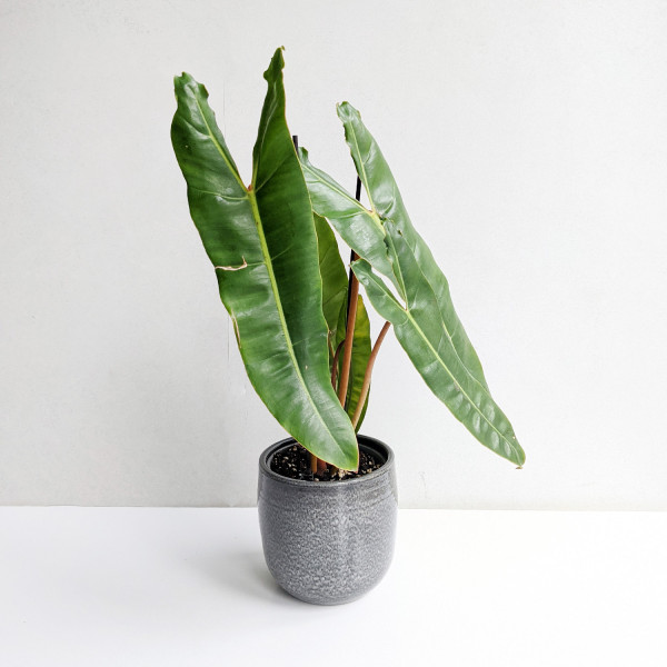 Philodendron billietiae large - A