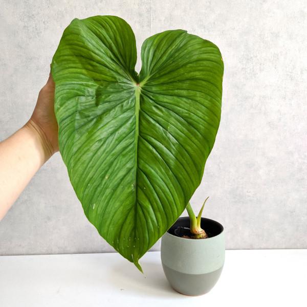 Philodendron Mamei x Pastazanum A