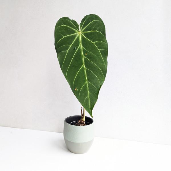 "Anthurium magnificum ""long form"""