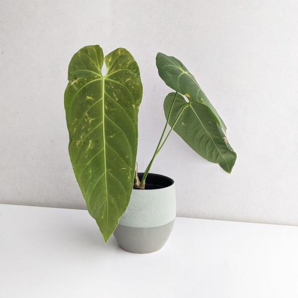 Anthurium cirinoi - A