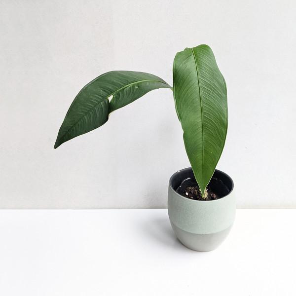 Anthurium microphyllum