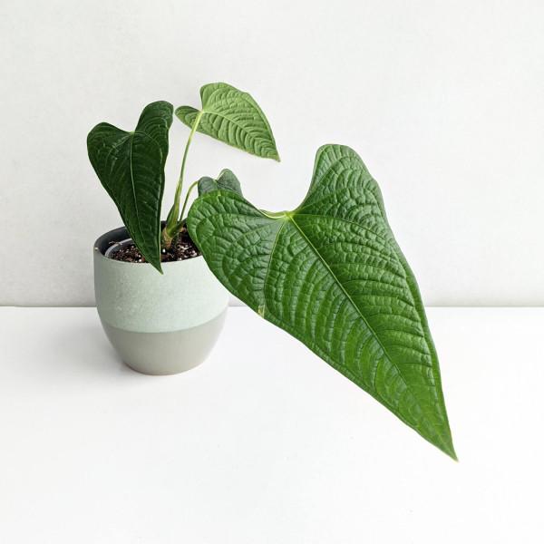 Anthurium lappoanum