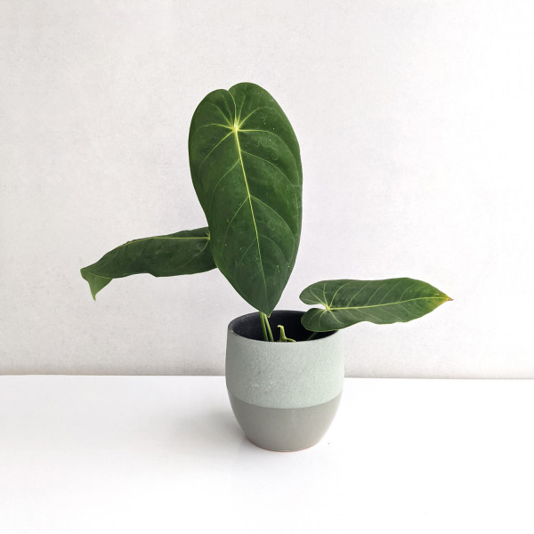 Anthurium cirinoi – B
