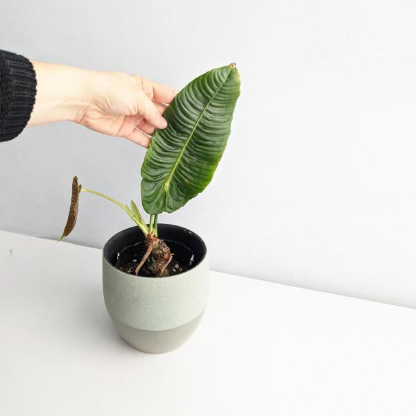 "Anthurium Veitchii ""narrow form"" – A"
