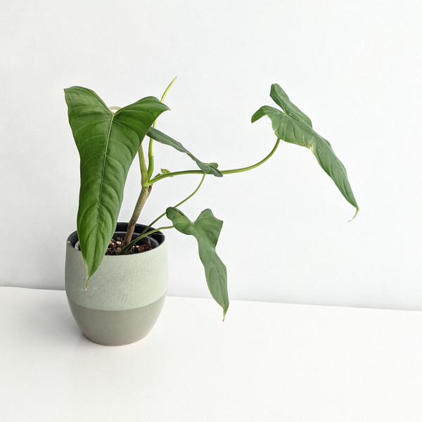 Philodendron Pinnatilobum aff – A