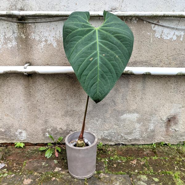 Anthurium regale verde XXL - A