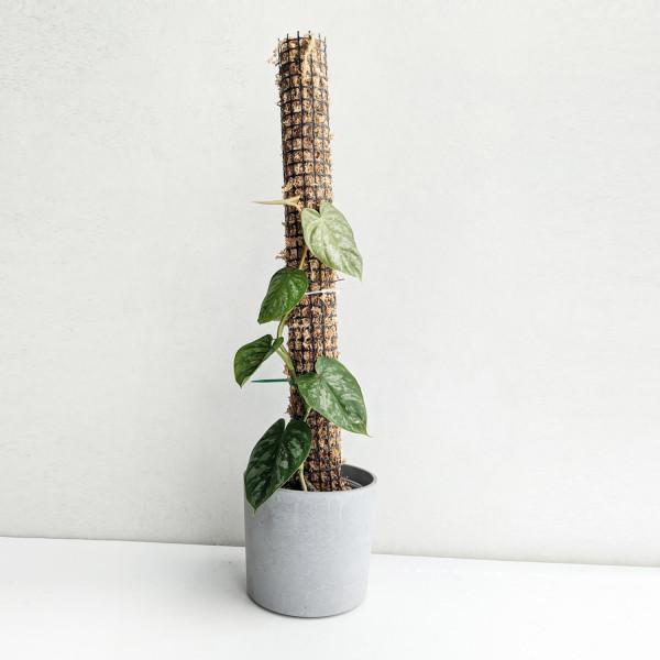 Philodendron brandtianum (on mosspole)