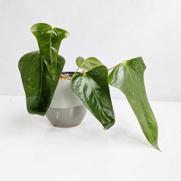 Anthurium Subsignatum