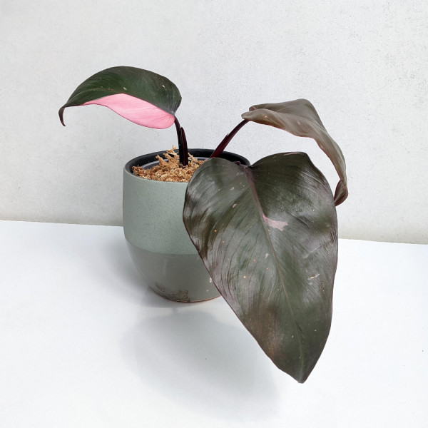 Philodendron Pink Princess – B