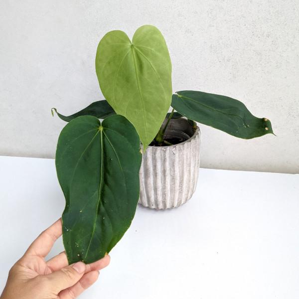 Anthurium gustavii
