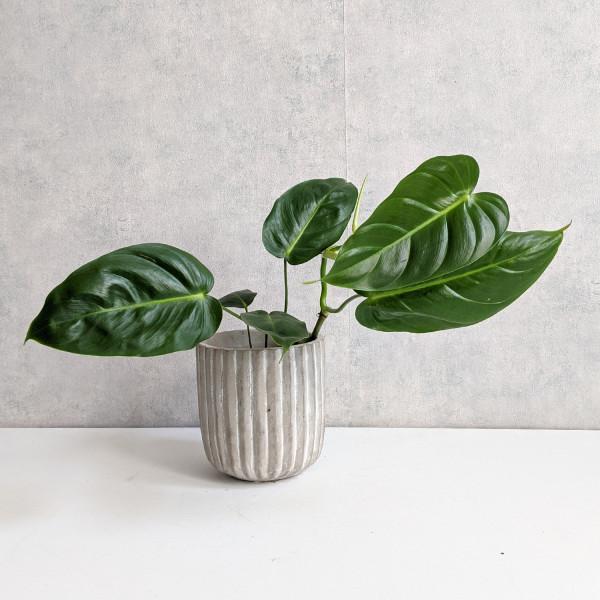 "Philodendron Esmeraldense ""narrow form"""