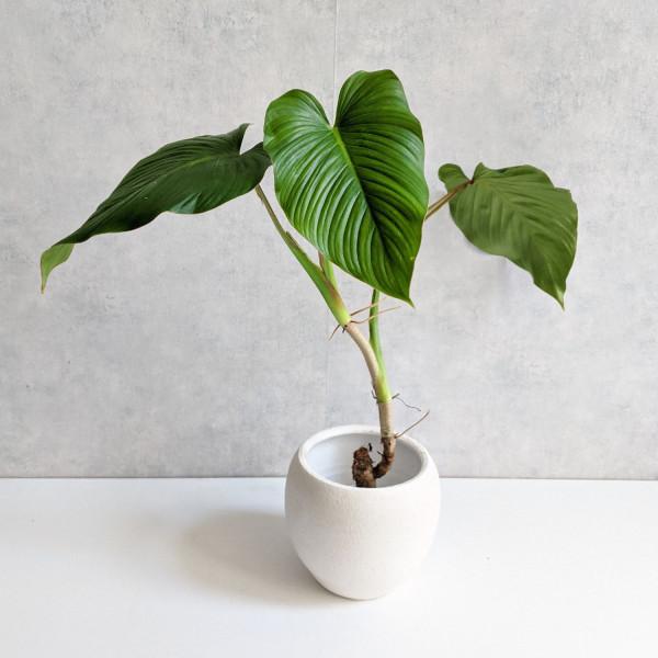 Philodendron Alatiundulatum A