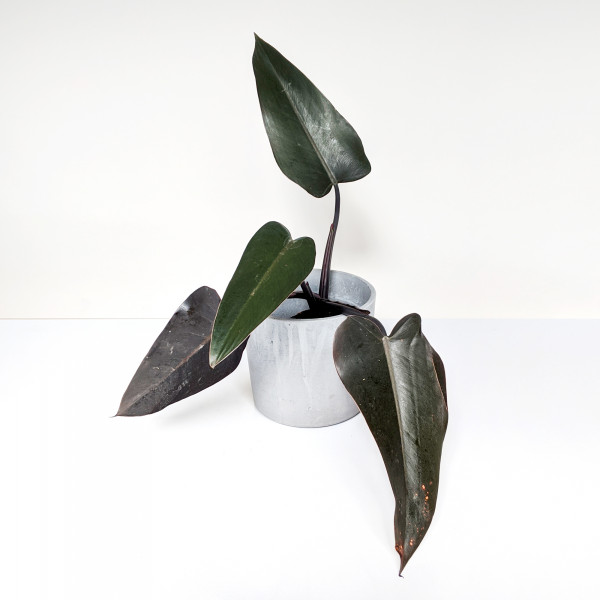 Philodendron Majesty