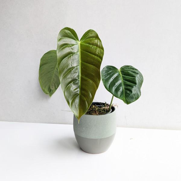 Philodendron esmeraldense