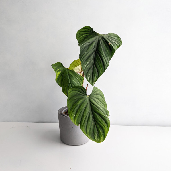 Philodendron Plowmanii big