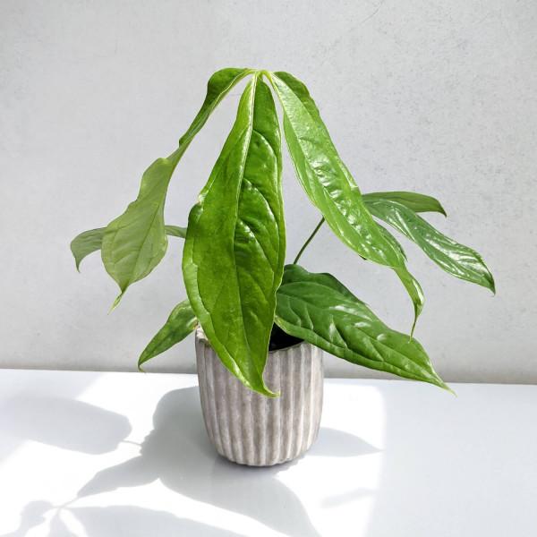 Anthurium pseudoclavigerum