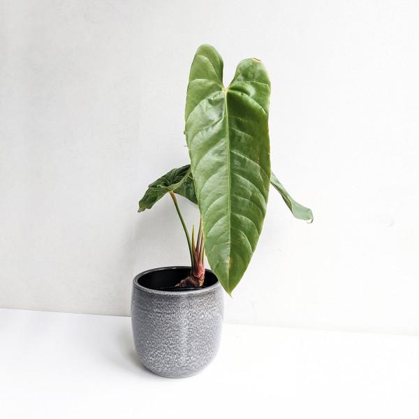 Anthurium recavum – large