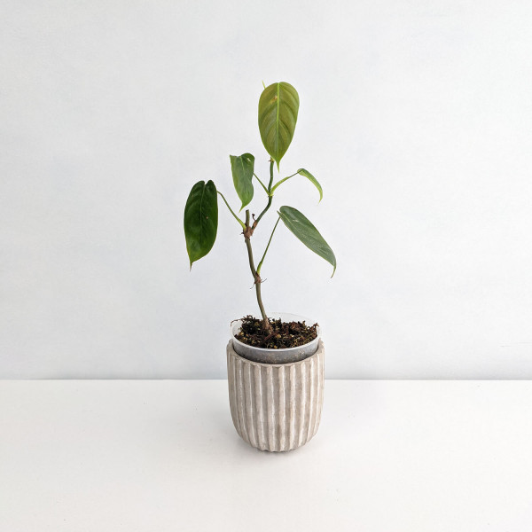 Philodendron Scherberichii small – A