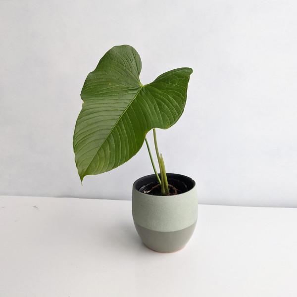 Anthurium Rugulosum